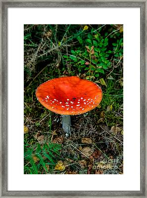 Fly Agaric Fungi Framed Print by Adrian Evans