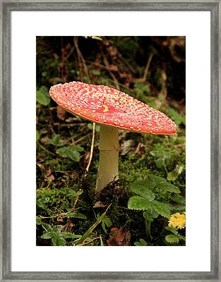 Fly Agaric Framed Print by Judith Groeger