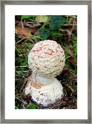Fly Agaric Mushroom Framed Print by John Wright