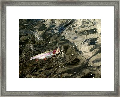 Fly Caught Rainbow Trout Framed Print by Thomas Young