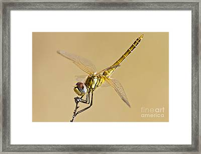Fly Dragon Fly Framed Print by Heiko Koehrer-Wagner