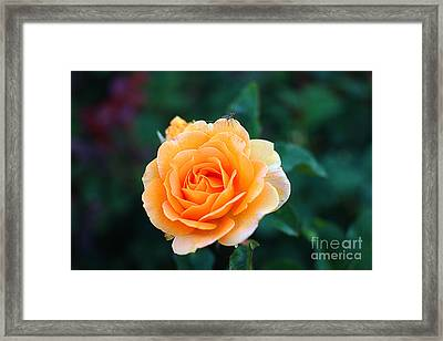 Fly On A Rose Framed Print