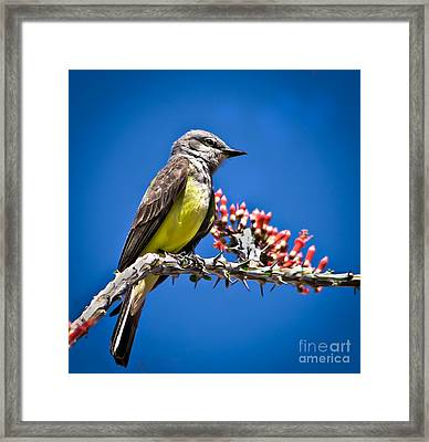 Flycatcher Framed Print by Robert Bales