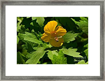 Flying Bee And Wood Poppy Framed Print by Byron Varvarigos