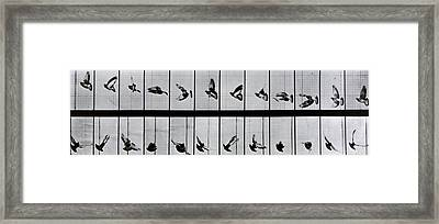 Flying Bird Framed Print by Eadweard Muybridge