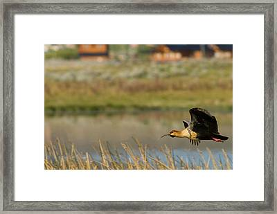 Flying Black-faced Ibis (theristicus Framed Print by Howie Garber