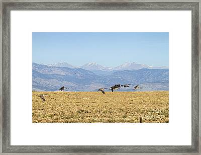 Flying Canadian Geese Rocky Mountains 2 Framed Print