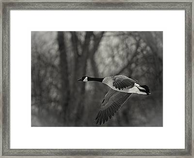 Flying Canadian Goose In Black And White Framed Print by Thomas Young