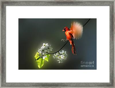 Flying Cardinal Landing On Branch Framed Print by Dan Friend