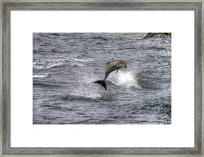 Flying Dolphin Framed Print by David Yack