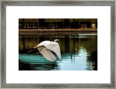 Flying Egret Framed Print by Robert Bales