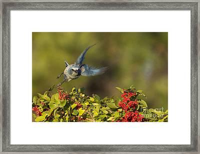 Flying Florida Scrub Jay Photo Framed Print