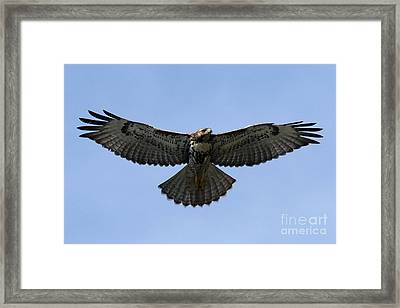 Flying Free - Red-tailed Hawk Framed Print