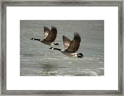 Flying Free Framed Print by Frederic Vigne