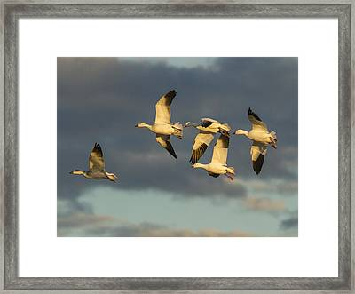 Flying Geese Framed Print by Jean Noren