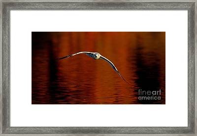 Flying Gull On Fall Color Framed Print by Robert Frederick