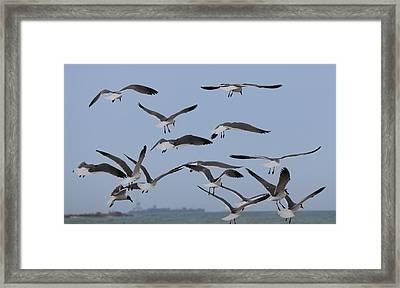 Flying Gulls  Framed Print