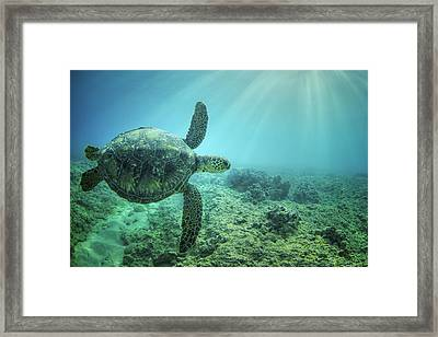 Framed Print featuring the photograph Flying Honu by Hawaii  Fine Art Photography