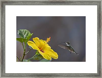 Flying In For A Quick Meal Framed Print by Robert Camp