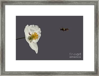 Flying In For Breakfast Framed Print