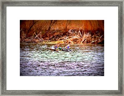 Flying Low - Mallard Framed Print by Travis Truelove