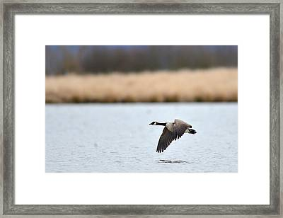 Flying Low Framed Print by Randy Giesbrecht