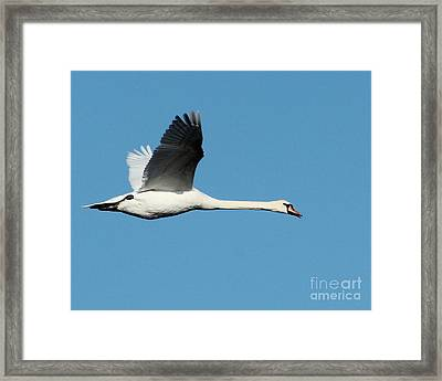 Flying Mute Swan II Framed Print