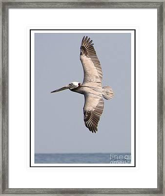 Flying Pelican Framed Print by Mariarosa Rockefeller