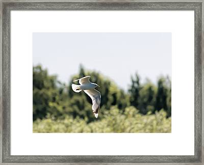 Framed Print featuring the photograph Flying Seagull by Leif Sohlman
