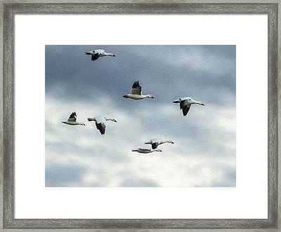 Flying Snow Geese Framed Print