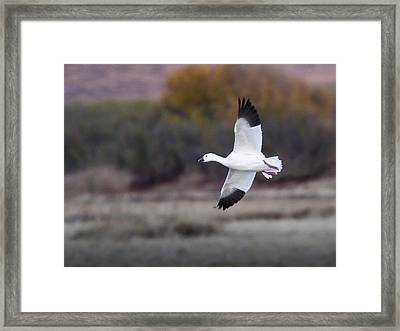 Flying Snow Goose Framed Print