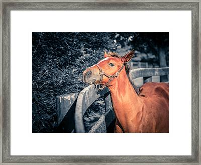 Foal By The Fence Framed Print