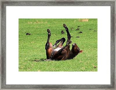 Foal Rolling On Back Framed Print by Ger Bosma