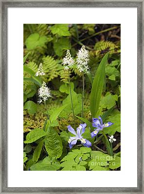 Foamflower And Crested Dwarf Iris - D008428 Framed Print by Daniel Dempster