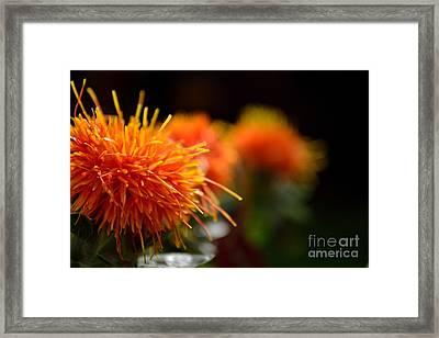 Focused Safflower Framed Print by Scott Lyons