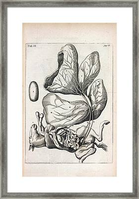 Foetal Foal Anatomy Framed Print by National Library Of Medicine