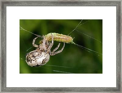 Foliate Spider Feeding Framed Print