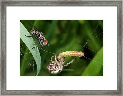 Foliate Spider With Prey And Flesh Fly Framed Print by Nigel Downer