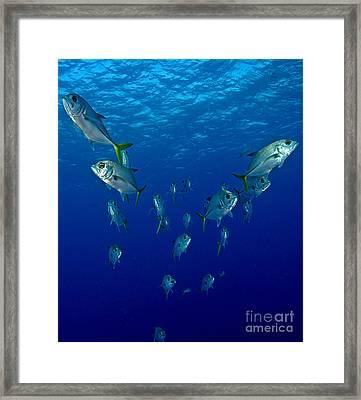 Follow Jack Framed Print by Carey Chen