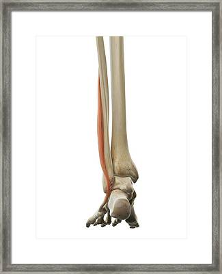 Foot Muscle Framed Print