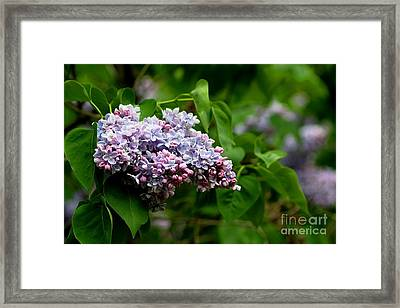 For The Love Of Lilac Framed Print