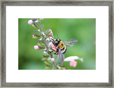 Foraging For Nectar Framed Print