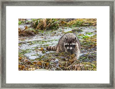 Foraging Raccoon At Low Tide In Tide Framed Print by Michael Qualls