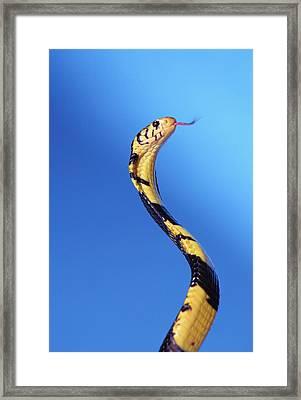 Forest Cobra Naja Melanoleuca Framed Print