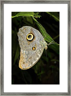 Forest Giant Owl Butterfly Framed Print by Dr Morley Read