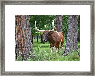 Forest Longhorn Florida Framed Print by r Erickson