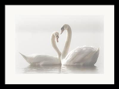 Swan Pair Framed Prints