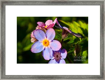 Forget-me-knots Framed Print