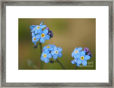 Forget Me Not 01 - S01r Framed Print