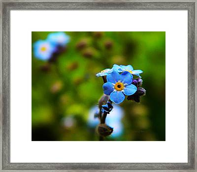 Forget Me Not Bloom Framed Print by Chris Berry